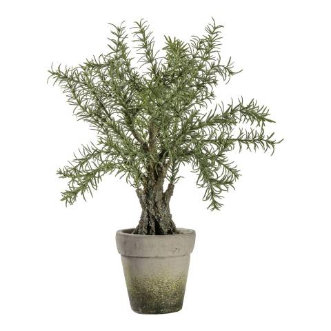 Gallery Potted Rosemary Tree W24xD24xH43cm